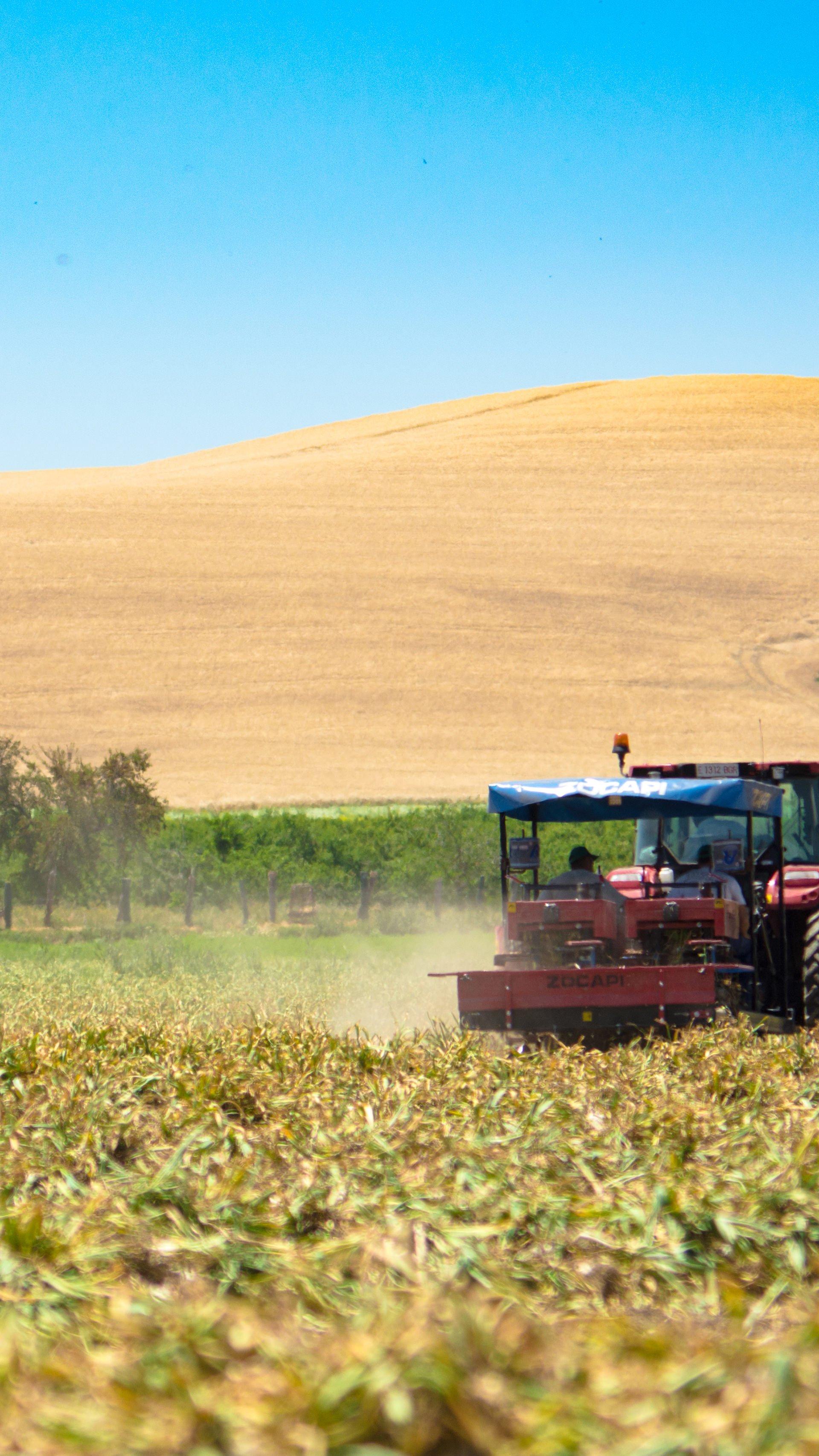 Campo de cultivo de ajo